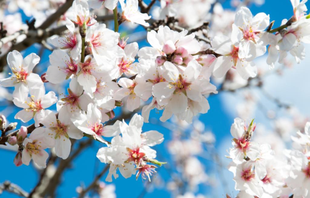 Die schönsten Orte für die Mandelblüte Mallorca