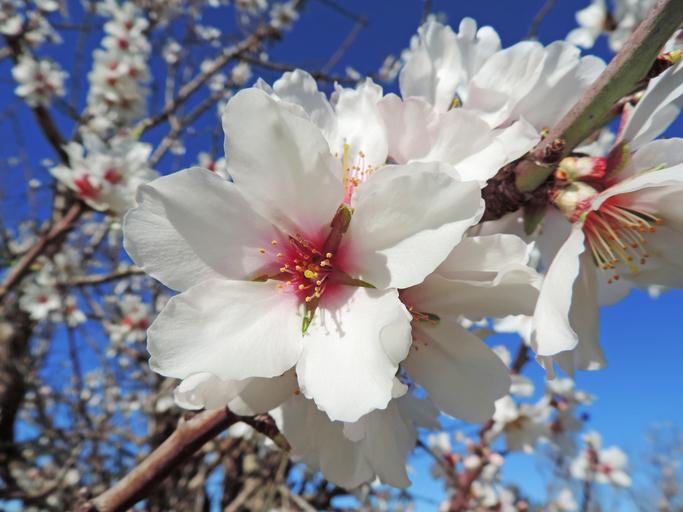 Mandelblüte 2017 auf Mallorca erleben