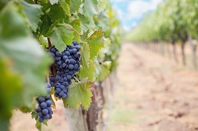 Mit dem Weinexpress Mallorca die traditionsreiche Weinkultur entdecken