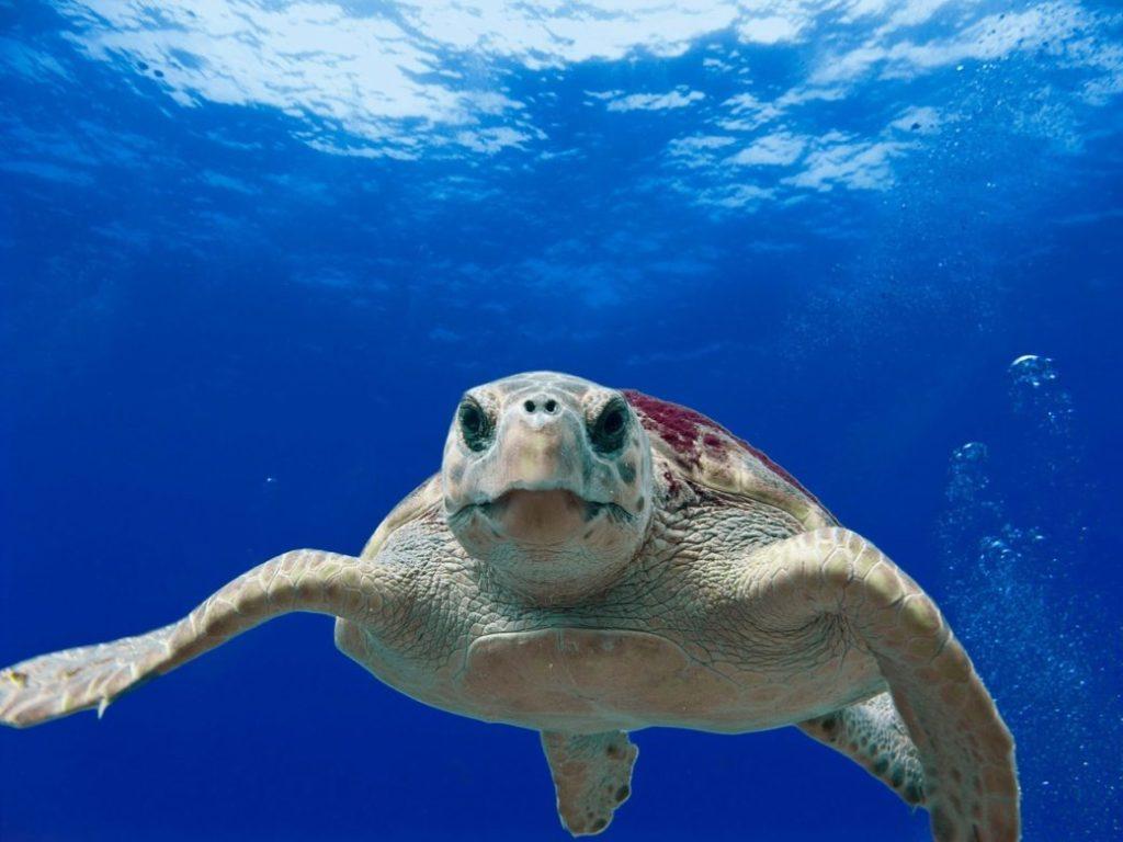 Schnorcheln auf Mallorca Karettschildkröte